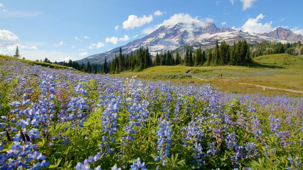 [4K] Lãng Mạn Thung Lũng Dã Quỳ Tím Của Dãy Núi Rainier