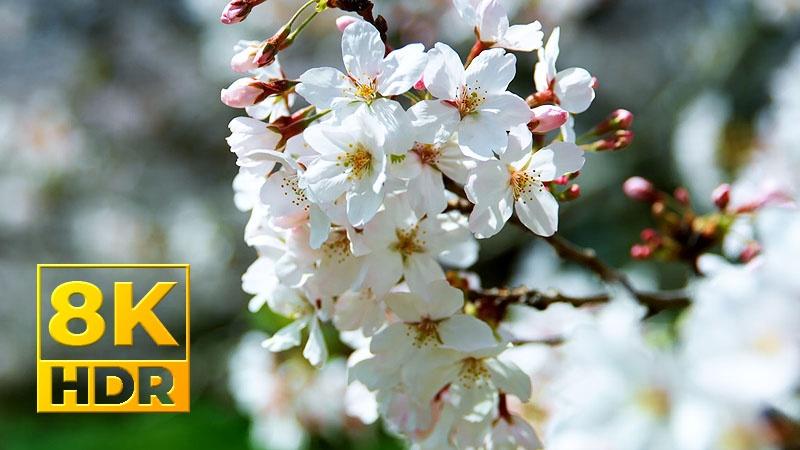 [8K] Rung Rinh Những Chùm Hoa Trong Gió Ở Sakura - Nhật Bản